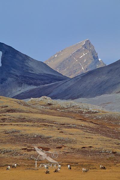 Bighorn Sheep, Canadian Rockies, fall.