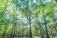 France, Allier, Bourbonnais, Troncais forest, Isle et Bardais, Charles-Louis Philippe oak // France, Allier (03), Bourbonnais, forêt de Tronçais, Isle-et -Bardais, chêne Charles-Louis Philippe