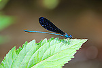 A blue dragonfly takes a brief rest on a leaf