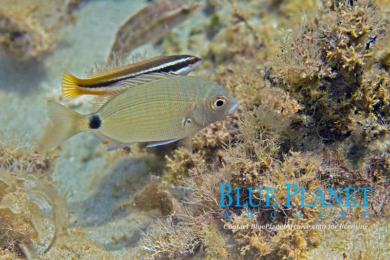 annular gilthead, diplodus annularis, Aegean sea, Mediterranean