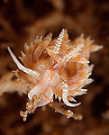 Dondice Occidentalis; nudibranch foraging in the hydroids