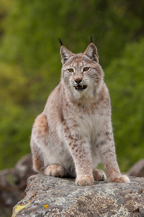 Siberian Lynx watching intently from atop a boulder - CA