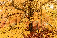 Parrotia persica, Persian ironwood in autumn, Arboretum national des Barres