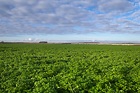 27/11/2020 Cover crops being used on the Lincolnshire heath<br /> ©Tim Scrivener Photographer 07850 303986<br />      ....Covering Agriculture In The UK....