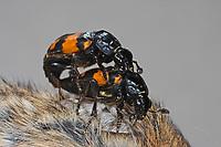 Schwarzhörniger Totengräber, Paarung, Kopulation, Schwarzfühleriger Totengräber, Waldtotengräber, Aaskäfer, Necrophorus vespilloides, Nicrophorus vespilloides, burying beetle, pairing