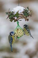 Blaumeise, selbstgemachtes Vogelfutter, am Nuss-Säckchen, Nusssäckchen, Nuß-Säckchen, Nussäckchen, Erdnüsse, Erdnuss-Säckchen, Erdnusssack, Erdnuß, Vogelfütterung, Fütterung, Winterfütterung, Blau-Meise, Meise, Meisen, Cyanistes caeruleus, Parus caeruleus, blue tit, bird's feeding, La Mésange bleue