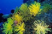 crinoid or featherstar, Oxycomanthus bennetti, Apo Island, Philippines, Pacific Ocean