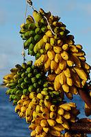 Bunches of bananas, Maldives.