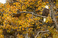 A bald eagle sits in a Cottonwod tree in Lake Clark National Park.  Fall - Autumn.  Alaska<br /> <br /> Photo by Jeff Schultz/  (C) 2019  ALL RIGHTS RESERVED<br /> <br /> Bears Moose Fall Color 2019 photo tour