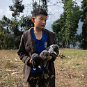 India - Sikkim - A young boy carries three puppies of Tibetan mastiff in his arms. Originating with the nomadic cultures of Tibet, China, Mongolia, India and Nepal, it is used by local tribes of Tibetans to protect sheep from wolves, leopards, bears, large mustelids, and tigers.