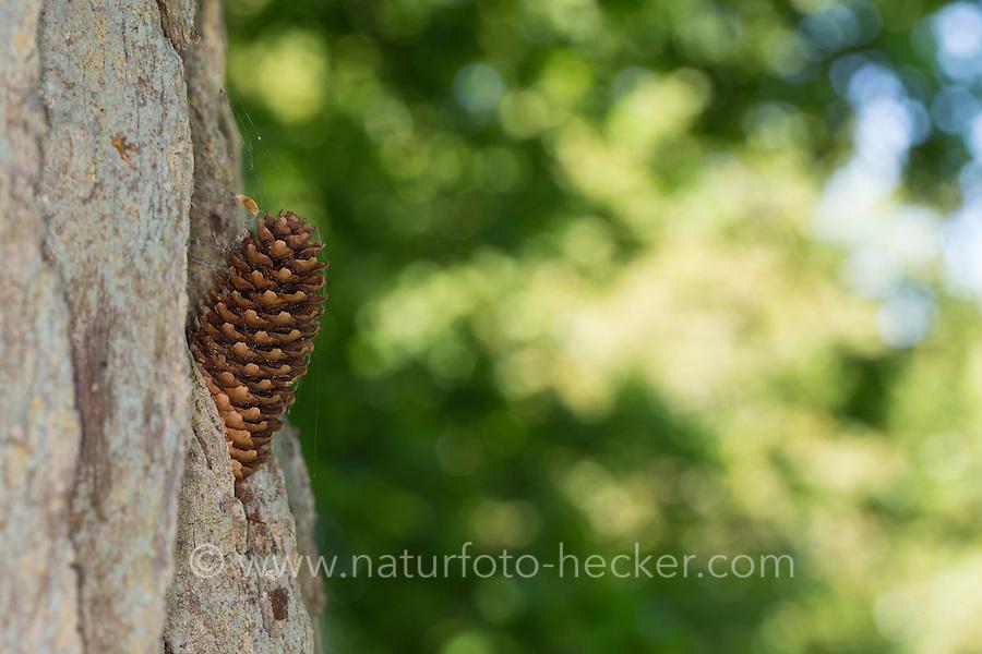Specht hat Nadelbaum-Zapfen, Zapfen in Stamm verkeilt, um die Früchtchen fressen zu können, Spechtschmiede, Specht-Schmiede, Spechte, pine-cone wedged in an anvil, smithy, workshop, woodpecker anvil