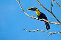 Chestnut-mandibled Toucan {Ramphastos swainsonii}. Osa Peninsula, Costa Rica. May.