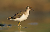 Spotted Sandpiper, Actitis macularia, adult winter plumage, Willacy County, Rio Grande Valley, Texas, USA