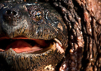 Common Snapping Turtle<br /> Chelydra serpentina<br /> Large common snapper found prowling a vernal pool.