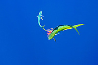 Free swimming mahi mahi, common dolphinfish or dorado, Coryphaena hippurus, attacking the trolling jet lure which is hooked on the other mahi mahi, Kona Coast, Big Island, Hawaii, USA, Pacific Ocean
