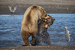 Pictured:  Sequence 6 of 13:  The mum having caught the fish is attacked by the other bear sending the fish flying through the air<br /> <br /> Grizzly bears viciously attack each other as they battle over a fish.  The two brown-haired bears became aggressive as they came to blows over their food, digging their paws and teeth into each other.<br /> <br /> Photographer Kevin Dooley spotted the female bear, thought to be about 16 years old, fighting with the younger five-year-old male bear in southwestern Alaska.  SEE OUR COPY FOR DETAILS.<br /> <br /> Please byline: Kevin Dooley/Solent News<br /> <br /> © Kevin Dooley/Solent News & Photo Agency<br /> UK +44 (0) 2380 458800