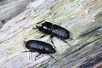 Kopfhornschröter, Kopfhorn-Schröter, Baumschröter, Sinodendron cylindricum, rhinoceros beetle, small European rhinoceros beetle