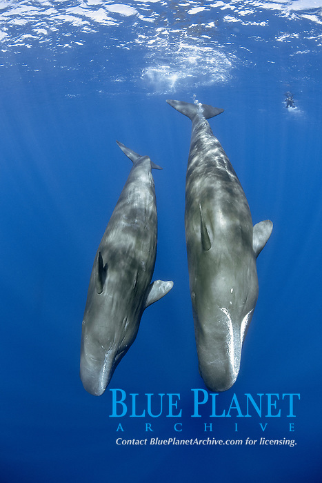 Couple of sperm whale, Physeter macrocephalus, The sperm whale is the largest of the toothed whales Sperm whales are known to dive as deep as 1,000 meters in search of squid to eat Image has been shot in Dominica, Caribbean Sea, Atlantic Ocean Photo taken under permit #P 351/12 W-2