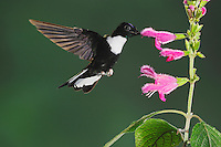 Collared Inca (Coeligena torquata), male feeding from sage flower, Papallacta, Ecuador, Andes, South America