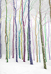 Winter frosted aspens hand colored dream land.