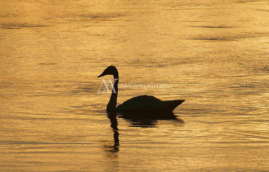 A Trumpeter Swan swims along the Madison River late in the day.