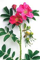 Old rose photobotanic illustration - red Rosa rugosa 'Rubra'