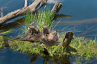 Northern River Otter (Lontra canadensis) family--mother with three pups play on fallen log along edge of lake.  Western U.S., summer..