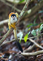 Squirrel monkeys are small and very cute.  This one came down for a drink.