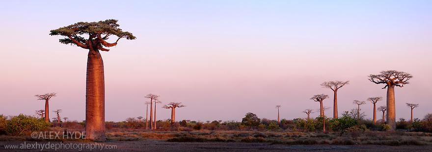 Boabab trees {Adansonia grandidieri} at sunset. Morondava, Madagascar. Stitched Panorama.