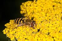 Garten-Schwebfliege, Gartenschwebfliege, Gemeine Schwebfliege, Weibchen beim Blütenbesuch, Nektarsuche, Bestäubung, Syrphus spec., hover fly