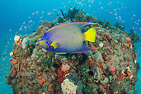 A Queen Angelfish swimming near a small coral formation..