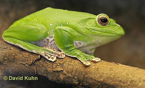 1217-07tt  Chinese Gliding Frog - Polypedates dennysi - © David Kuhn/Dwight Kuhn Photography.