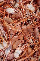"""Europe/France/Bretagne/29/Finistère/Le Guilvinec: Pêche en mer sur le chalutier """"Samouraï"""" - Galathées"""