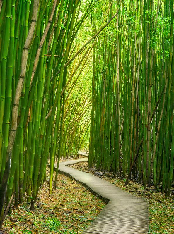 Bamboo Forest from Pipiwai Trail. Haliakala National Park, Maui Hawaii