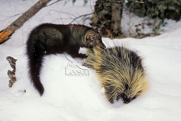 Fisher (Martes pennanti) preying on Porcupine, which is its main prey. Winter. Rocky Mountains.
