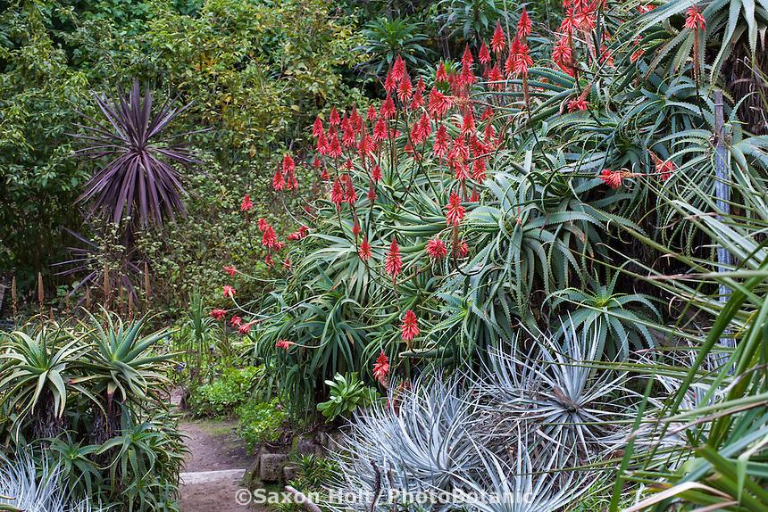 Aloe arborescens, Candelabra or Krantz Aloe, red flowering succulent in San Francisco Botanical Garden
