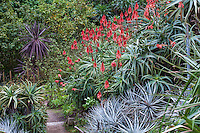 Aloe arborescens, Candelabra or Krantz Aloe, red flowering succulent in San Francisco Botanical Garden