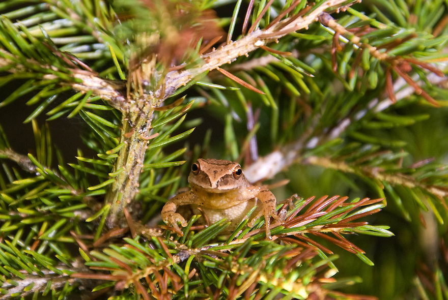 A tiny frog that makes a big sound, the Hyla crucifer, or spring peeper is one of the earliest frogs to be heard calling for a mate on early spring evenings.