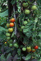 Tomato Sweet 100 cherry tomatoes growing on plant in garden in stages of ripening from green to yellow to red color with Salvia officinalis Purpurascens culinary herb sage