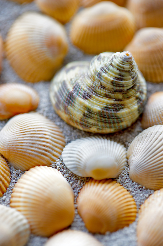 Turbo seashell and beach sand.