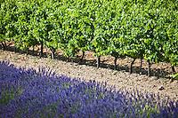 Europe/France/Provence-Alpes-Côte d'Azur/84/Vaucluse/Lubéron/env de Bonnieux: Vigne et Lavande