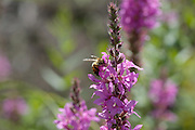 Purple loosestrife - Lythrum salicaria- during the summer months in New Hampshire USA.