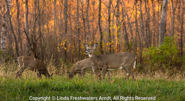 White-tailed doe and fawns at sunset.