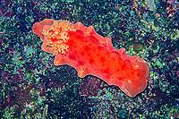 Spanish dancer nudibranch, Hexabranchus sanguineus, Izu ocean park, Sagami bay, Izu peninsula, Shizuoka, Japan, Pacific Ocean