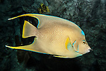 queen angelfish juvenile swimming to right