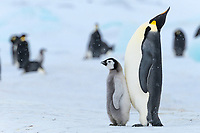 Snow Hill Island, Antarctica. Emperor penguin parent with juvenile.