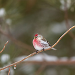 Common redpoll in northern Wisconsin.
