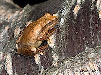 0302-0920  Spring Peeper Frog, Pseudacris crucifer (formerly: Hyla crucifer)  © David Kuhn/Dwight Kuhn Photography