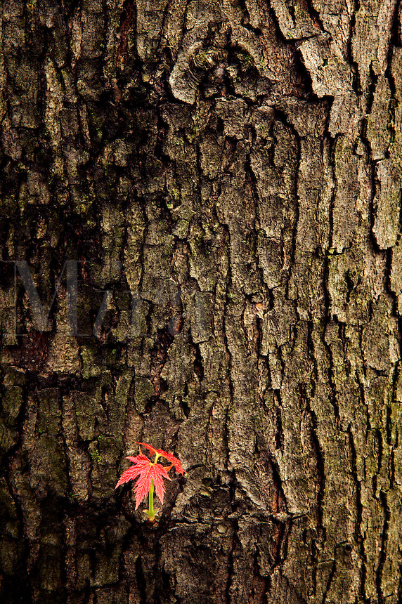 Silver maple tree, trunk and new leaf, Iow