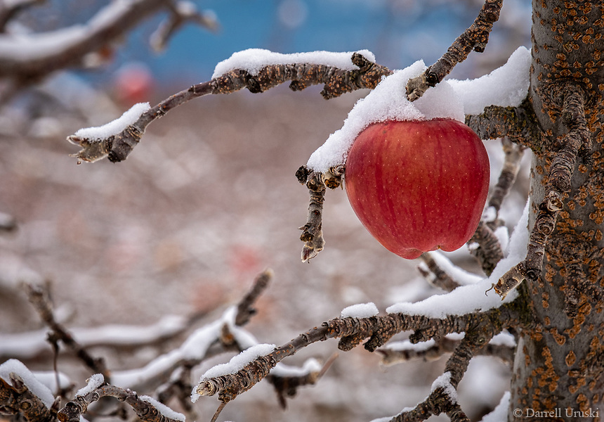Snow Covered Winter Apples photographed after a snowfall that occurred in the Okanagan Valley of British Columbia in Western Canada.